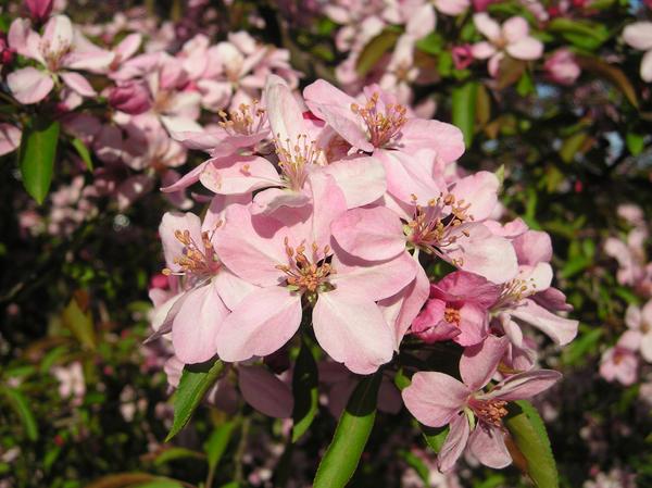 Cherry Blossom Tree by CASPER1830