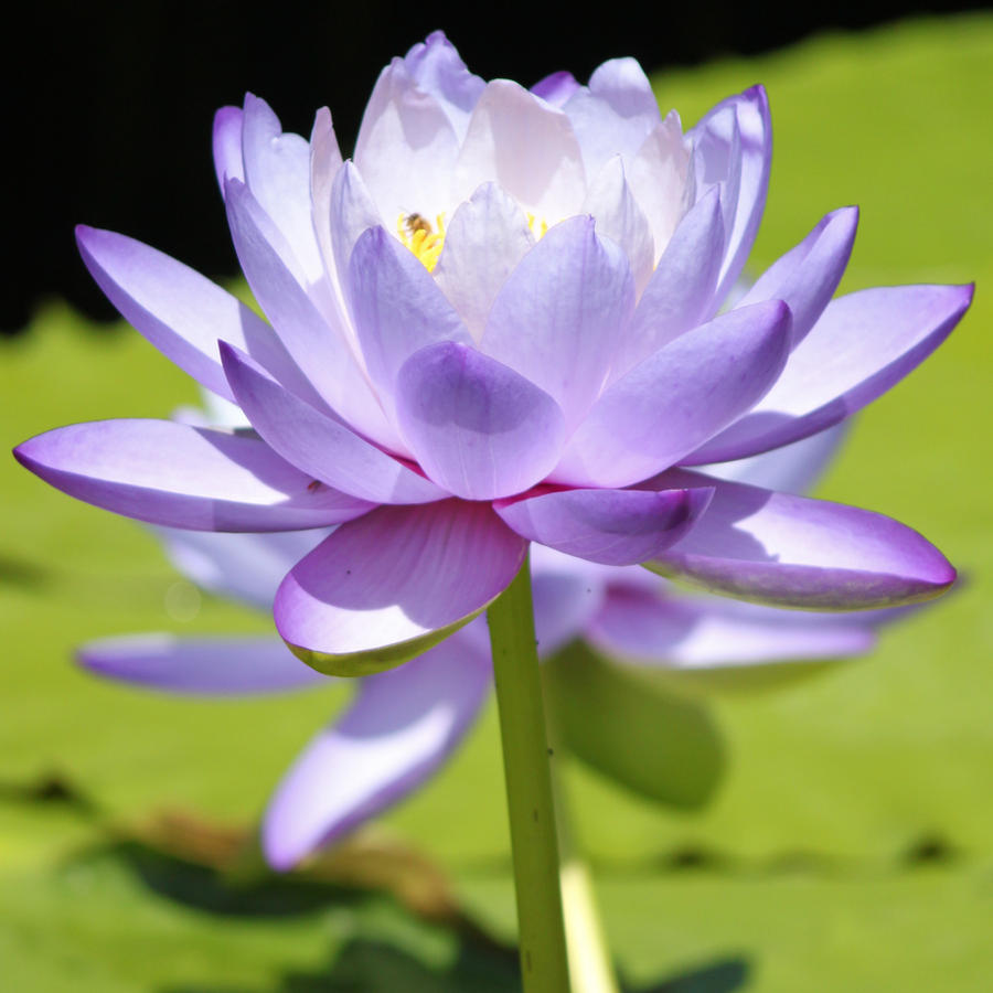 Water Lily 2 by CASPER1830