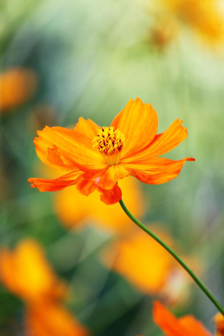 Orange Flower 3 by CASPER1830