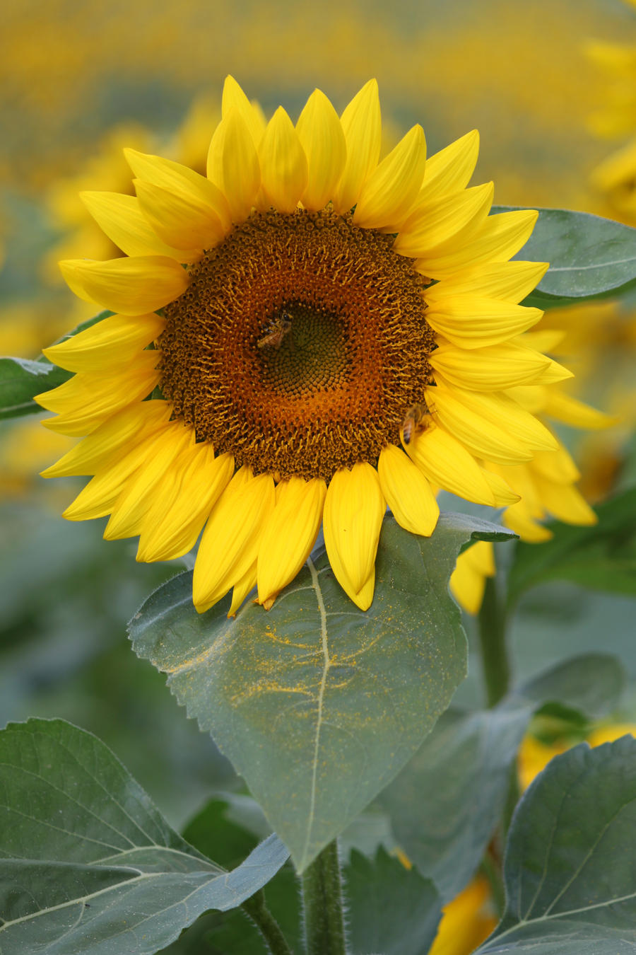 Sunflower 2 by CASPER1830