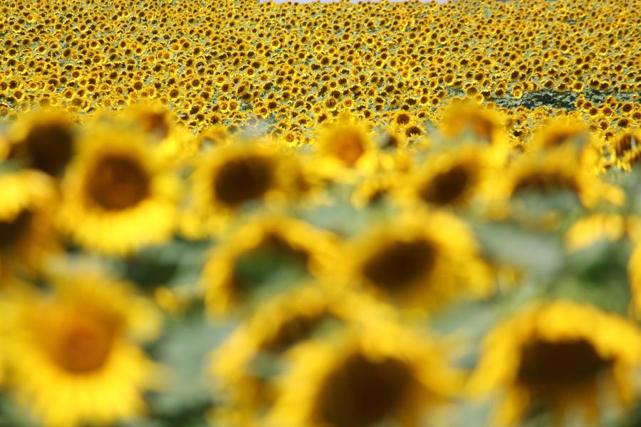 Sea of Sunflowers by CASPER1830