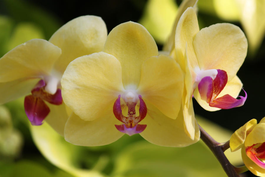 Yellow And Pink Orchid Yellow Orchids by CASPER1830