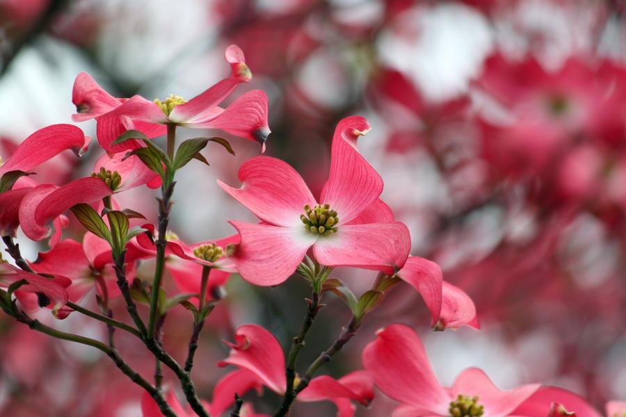 Dogwood Pink 2 by CASPER1830