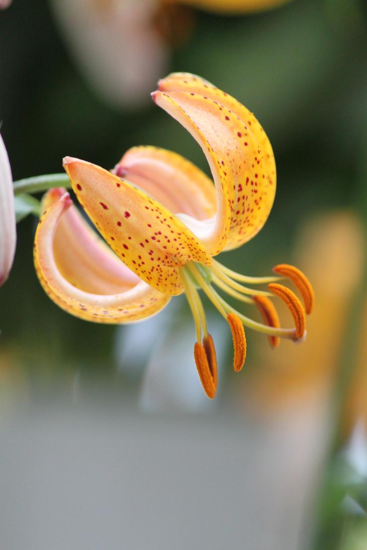 Martagon Lily by CASPER1830
