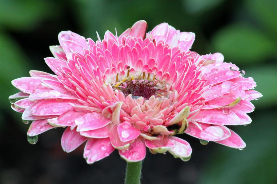 Pink Daisy by CASPER1830