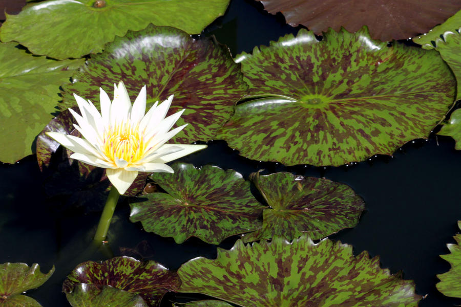 Water Lily by CASPER1830