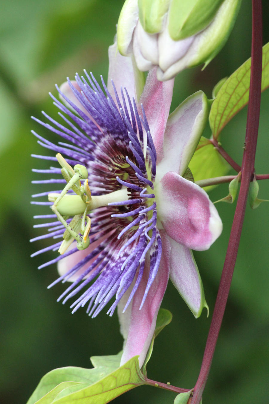 Passion Flower by CASPER1830