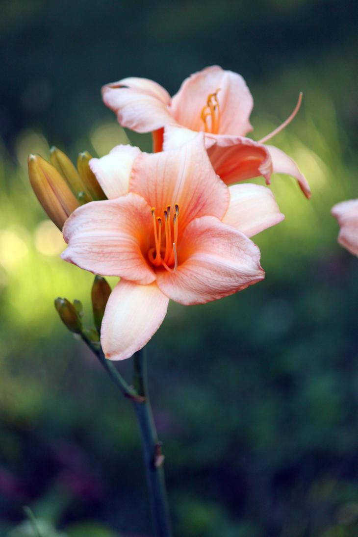 Garden Lily by CASPER1830