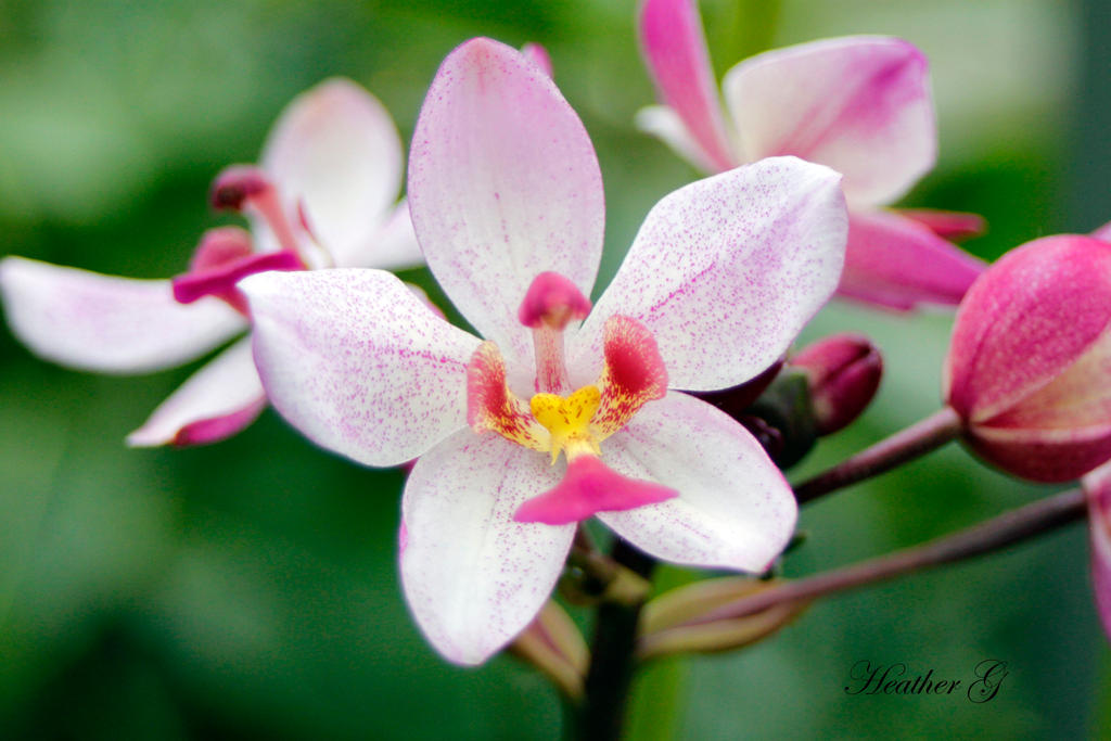 Pink Orchid by CASPER1830