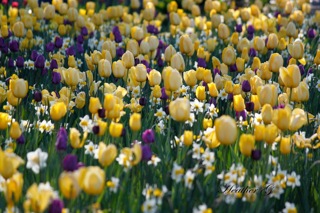 Tulip Field by CASPER1830