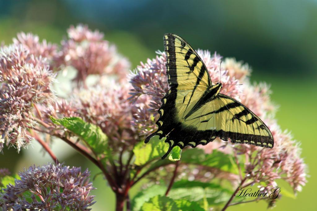 Swallowtail on Joe Pye Weed by CASPER1830