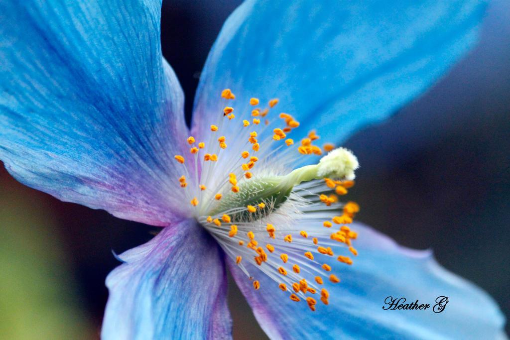 Blue Poppy by CASPER1830