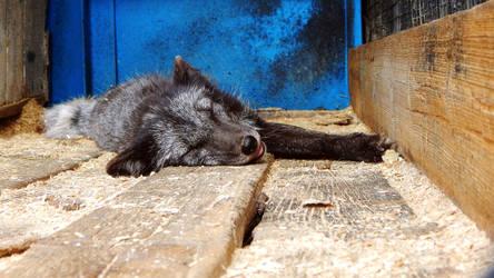 Sleeping DArcFox