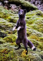 Good Artful Lunar Black Fox