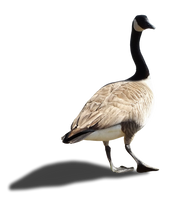 Canada Goose - II - Stock - PNG by Walking-Tall
