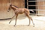 foal stock 3