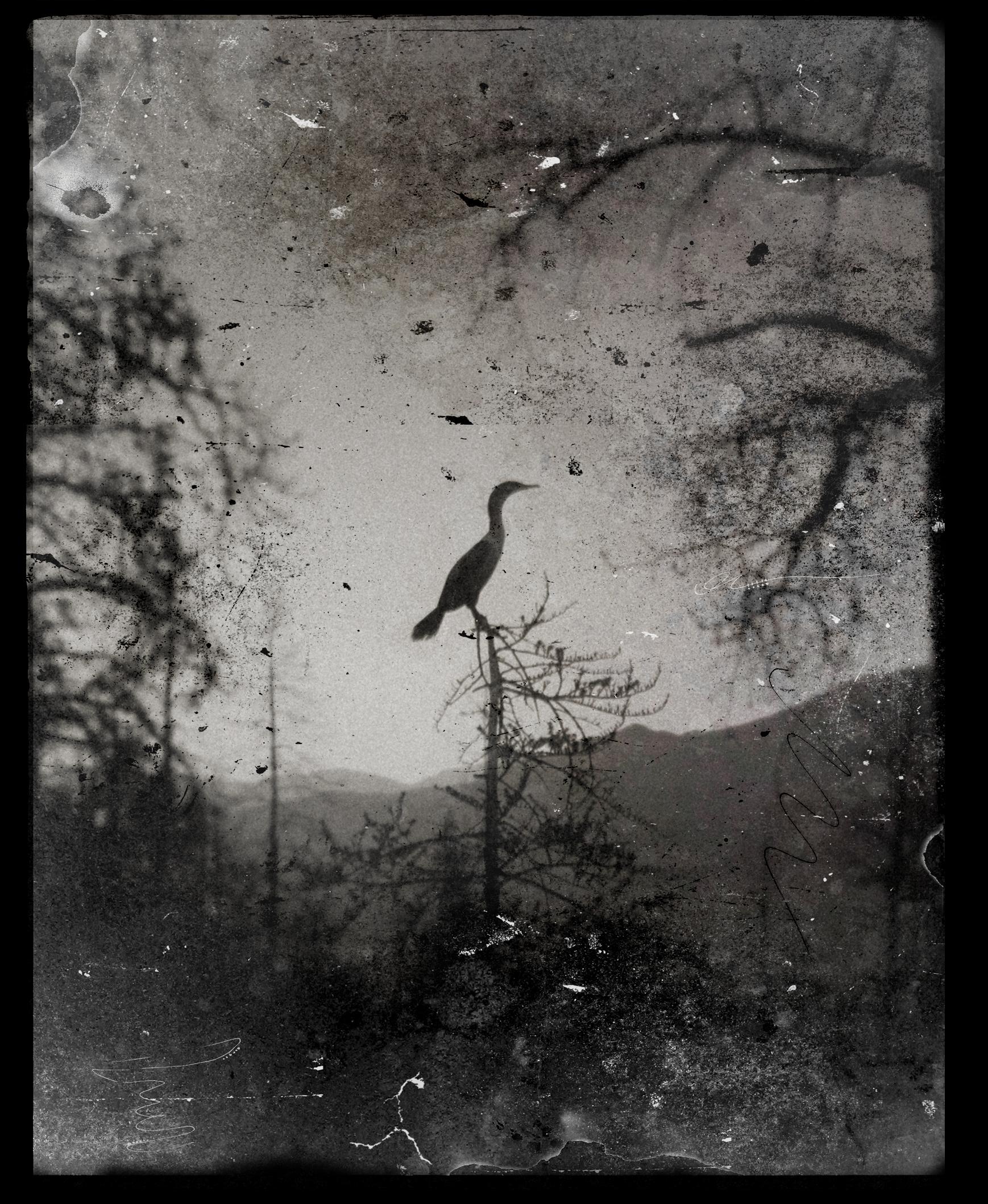 Cormorant by ditchcock