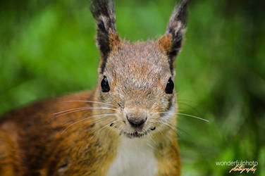 Eurasian Red Squirrel by wonderfulphoto