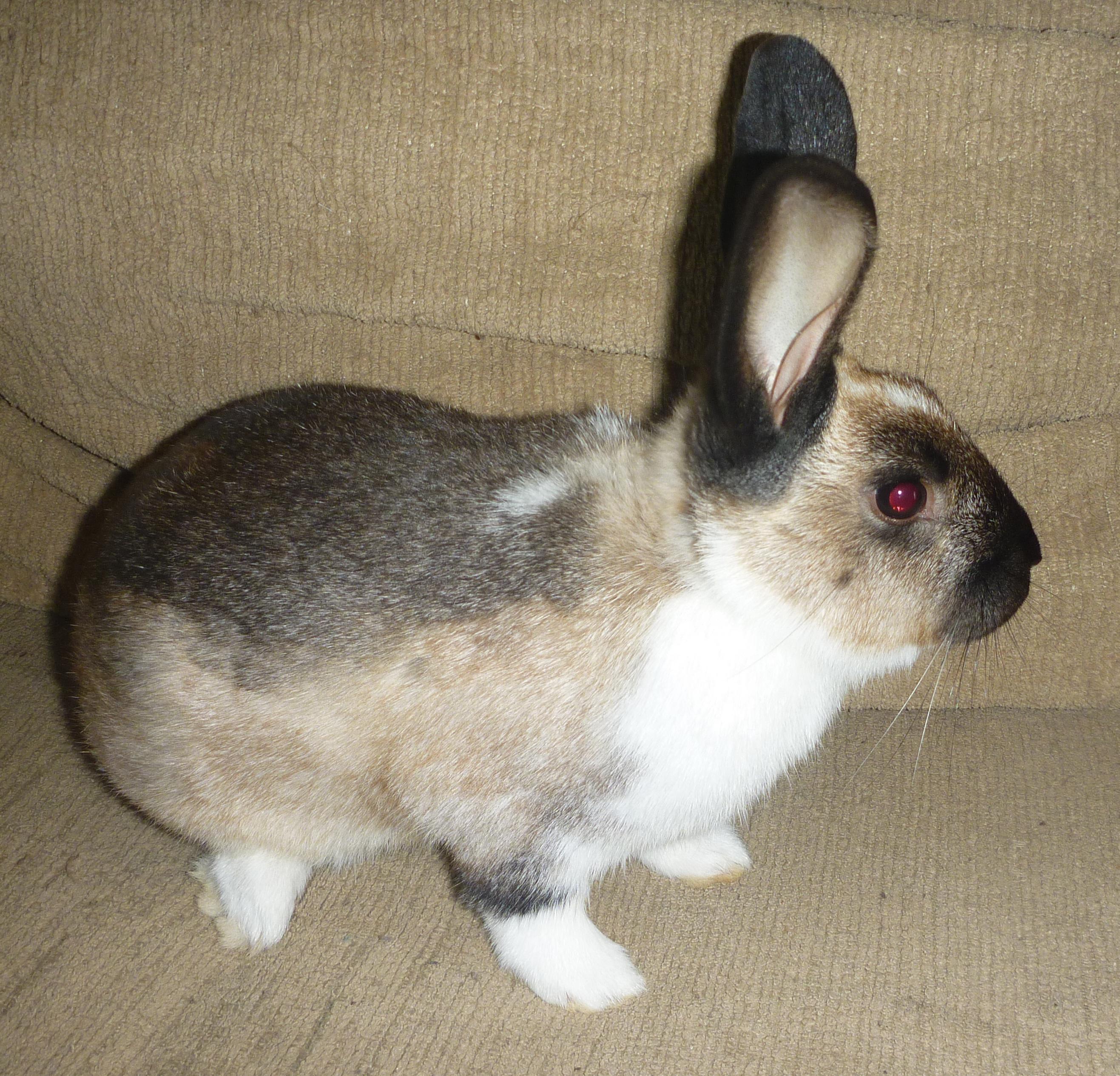 Sable Chinchilla Rabbit my Sable Chinchilla I'll