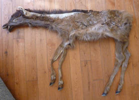 Elk Calf SOLD by Tricksters-Taxidermy