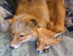 Fox adult and pup