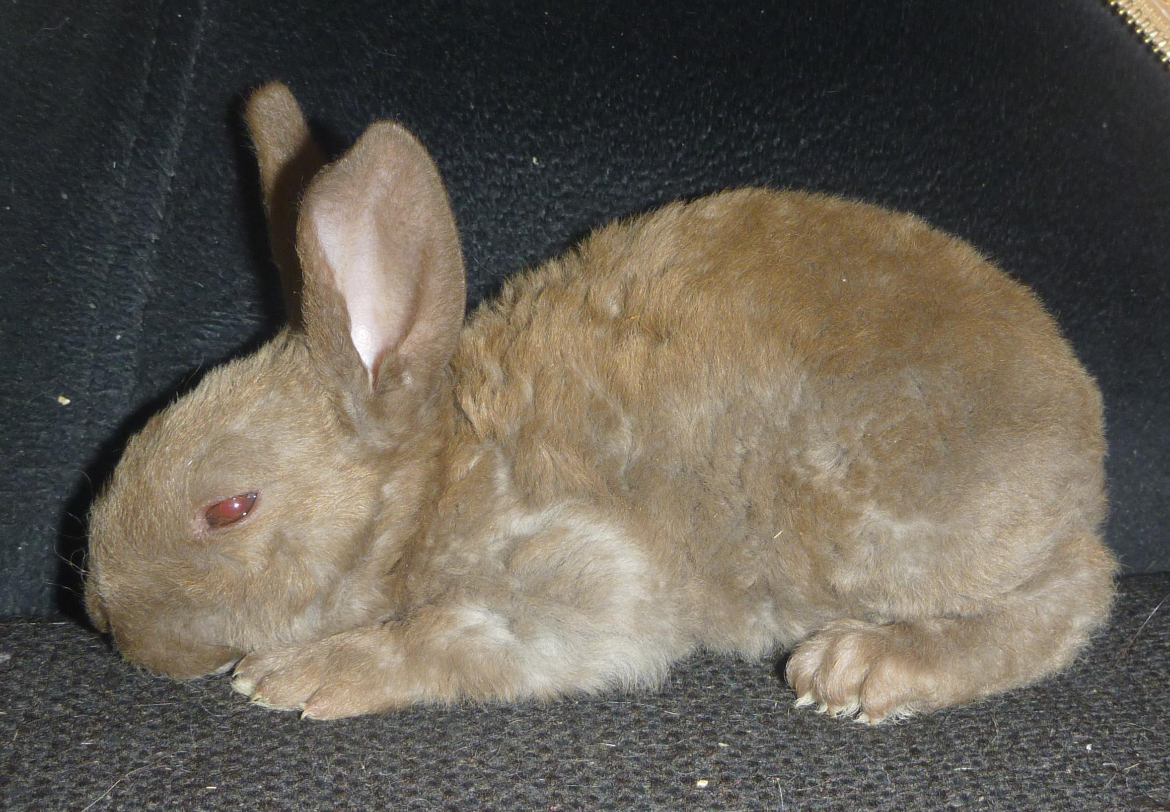 Sable Chinchilla Rabbit Chocolate Chinchilla And Sable