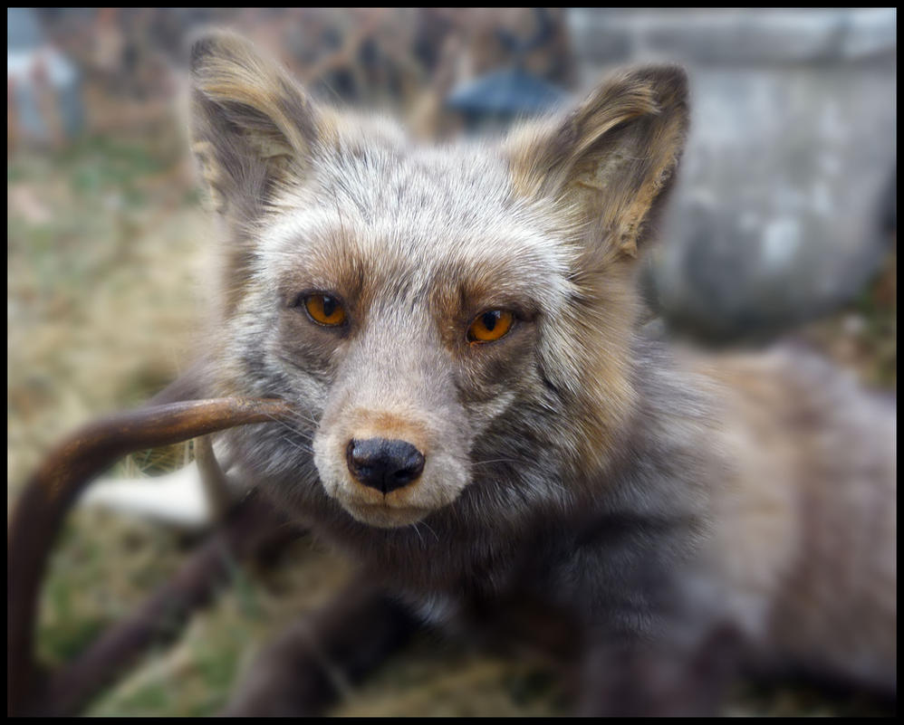 Beige Cross Fox Face by Tricksters-Taxidermy