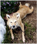 Red Coyote Soft Mount