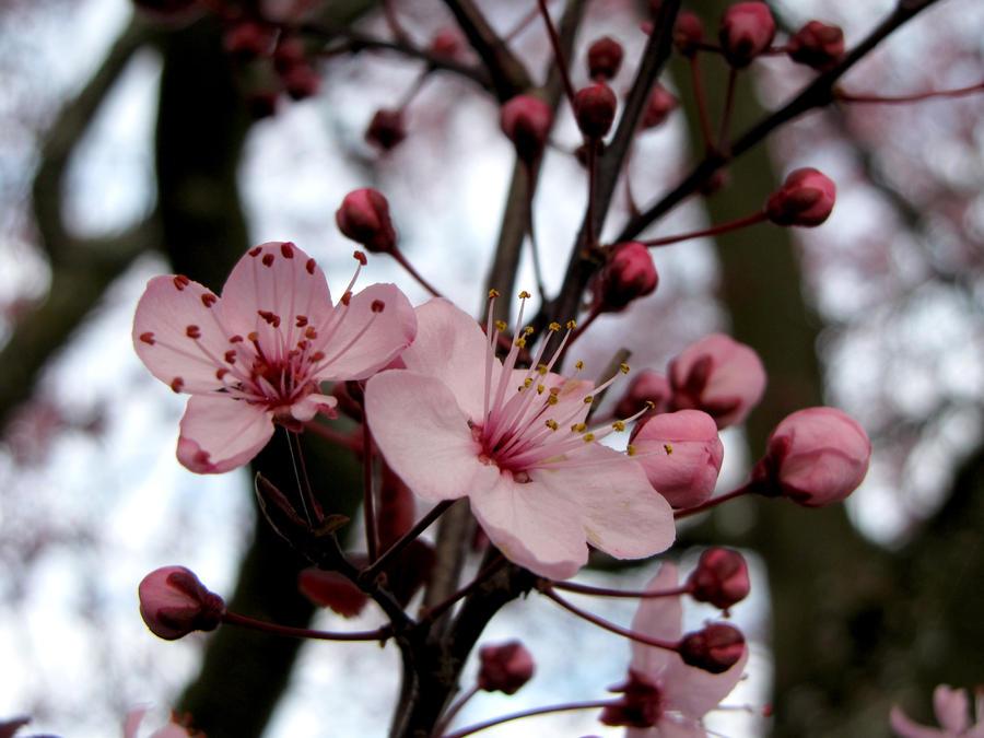 Cherry Blossoms 8