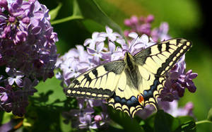 Old World swallowtail by Naturelady00