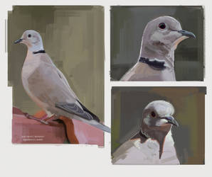 Collared Dove Studies by Gato-Iberico