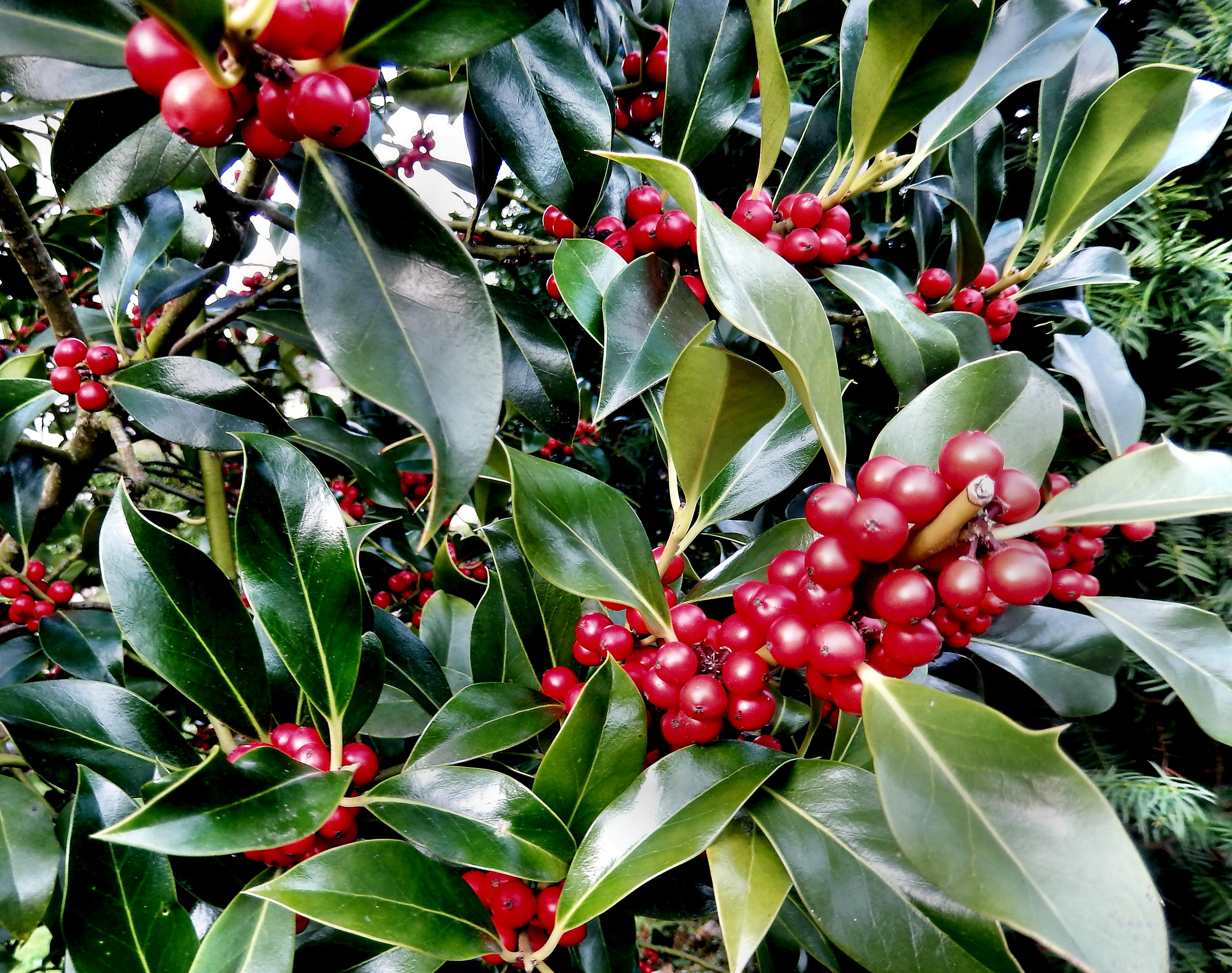 Cherry laurel berries by finnyanne on deviantart - Romanian cherry tree varieties ...