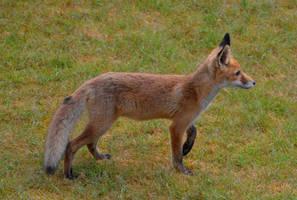 Backyard Fox by Finnyanne