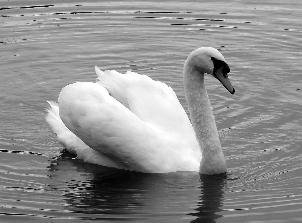 Swan in black and white by Finnyanne