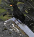 Watchful Blackbird by Finnyanne