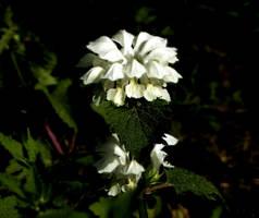 Blooming Nettle by Finnyanne