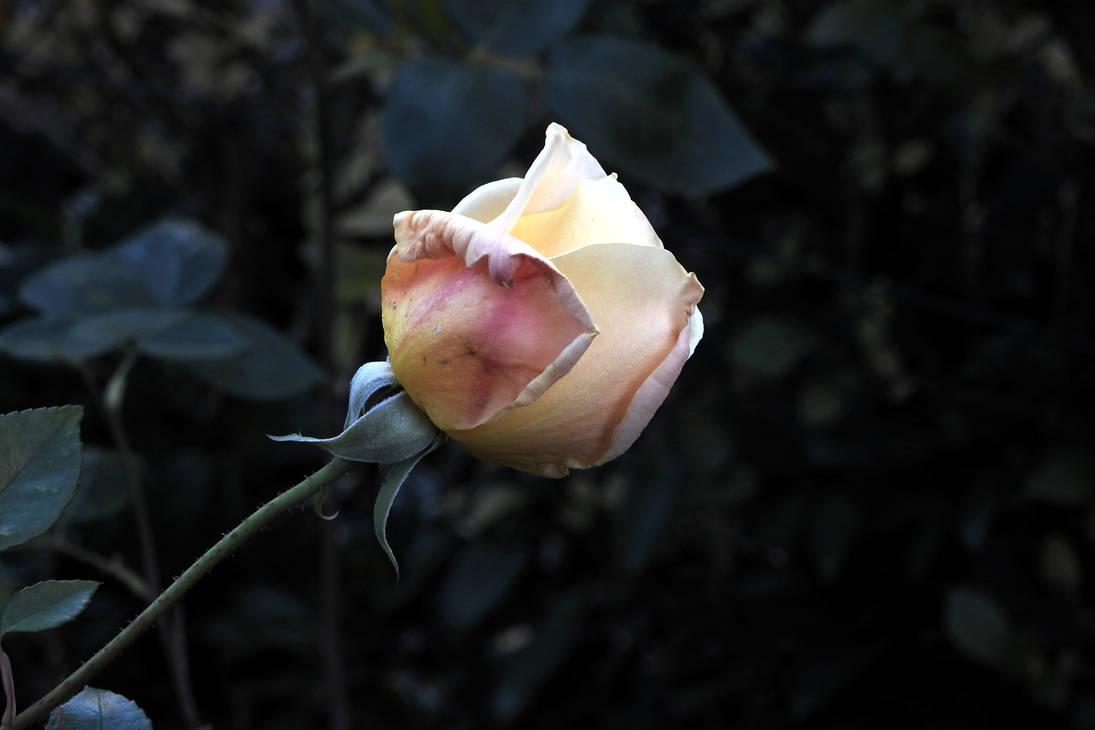 November Rose by Finnyanne