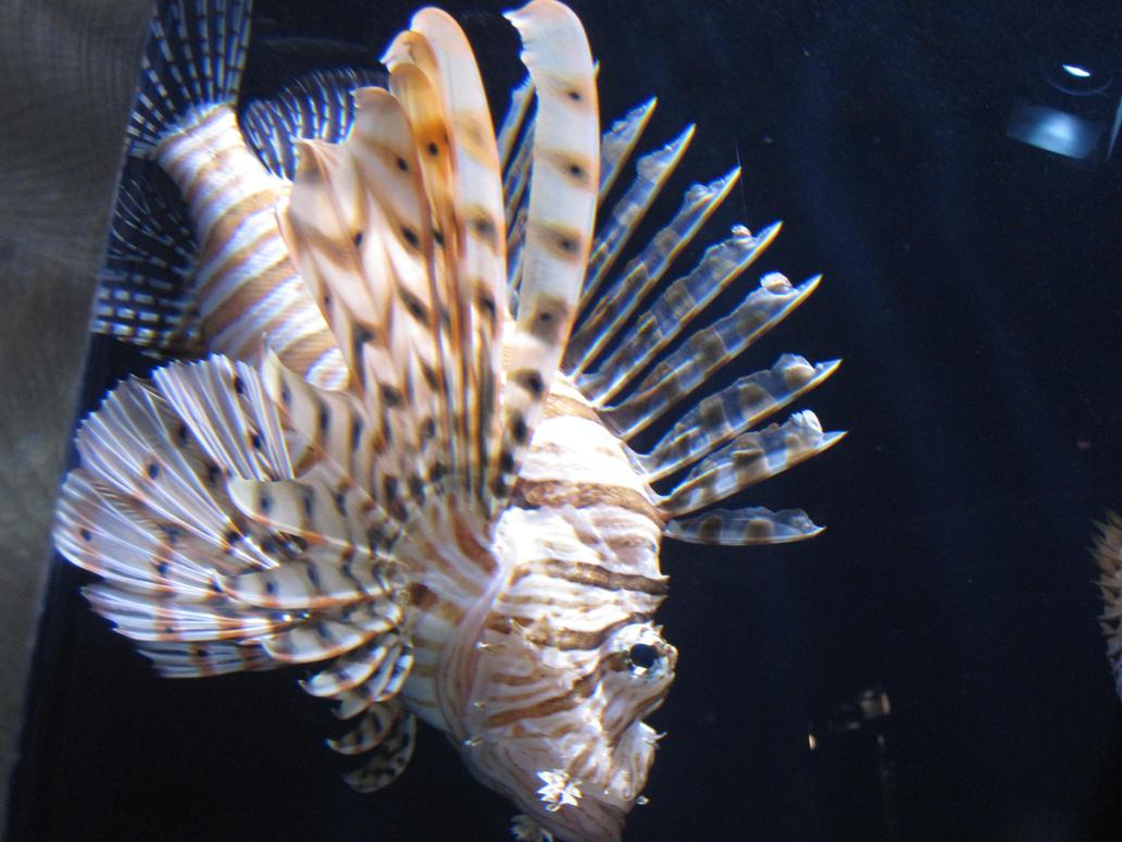 King Tiger Fish wallpaper > King Tiger Fish Papel de parede > King Tiger Fish Fondos