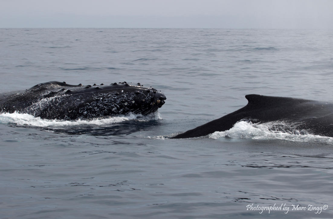 The Humpback Whale 4 by MarcZingg