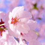 Sakura 2012 VII by larksgar