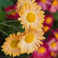 Chrysanthemum V by larksgar