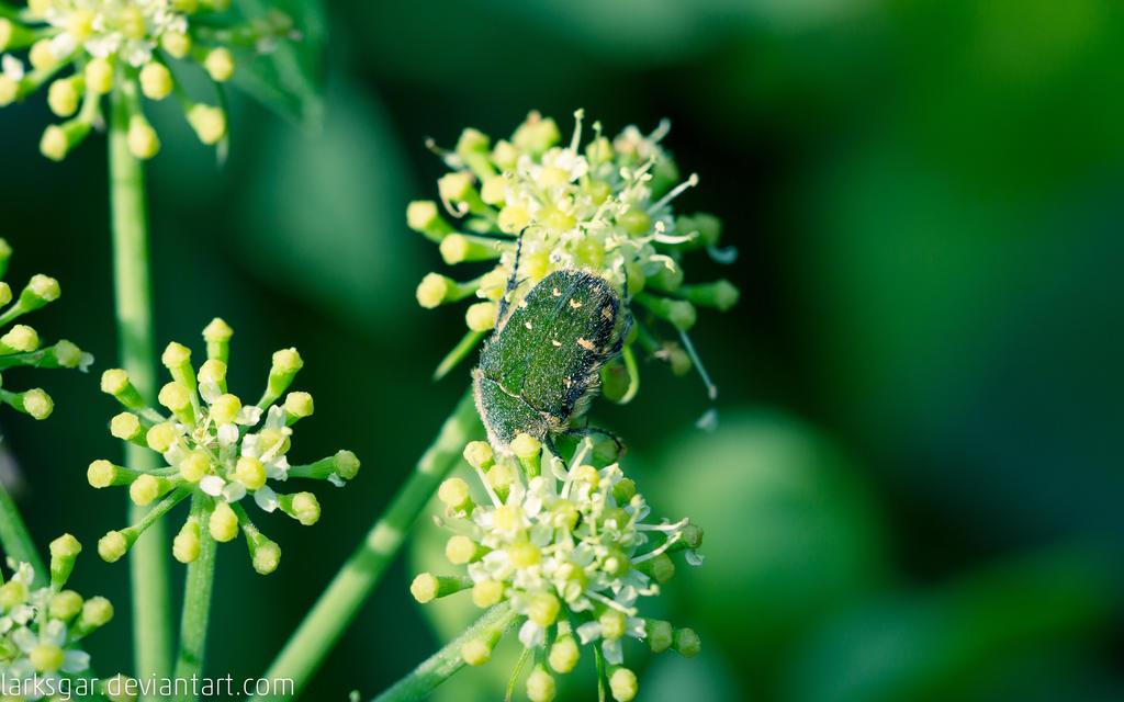 Pollen-laden beetle by larksgar