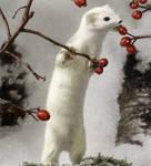 White Ermine by Stalio