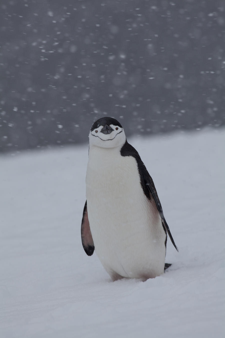 Snowy Chinstrap Penguin by pinguino