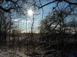 Icey forest