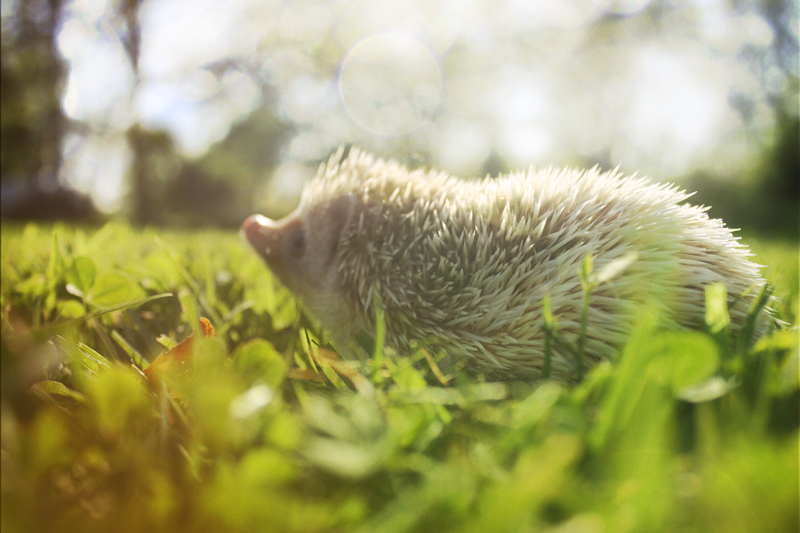 Hedgehog. by t-y-l-e-r