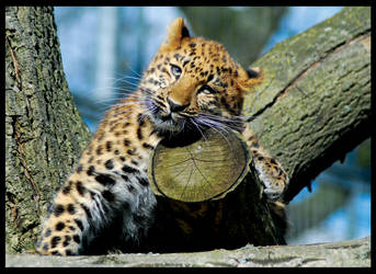 baby Amur Leopard_2 by puzzled2007