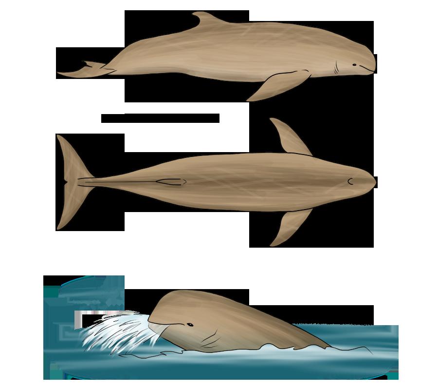Australian snubfin dolphin - photo#26