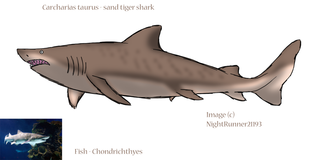 Fish chondrichthyes by morgan michele on deviantart for Cartilaginous fish examples