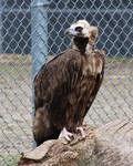 Cinereous Vulture 01